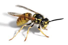 Tucson Wasp Control