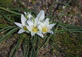 Ornithogalum refractum Willd. - Flora urbana della città di Trieste