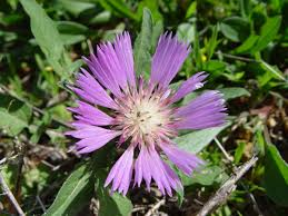 Centaurea - Wikipedia
