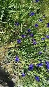 Iris revoluta Colasante