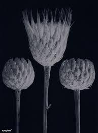 Download premium illustration of Serratula Nudicaulis (Bare ...