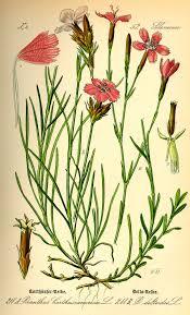 Dianthus - Wikipedia, a enciclopedia libre