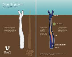 giant shipworms are found for the first time in a lagoon the giant shipworm is about the size of a baseball bat image university of