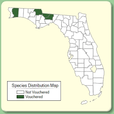 Leucanthemum vulgare - Species Page - ISB: Atlas of Florida Plants