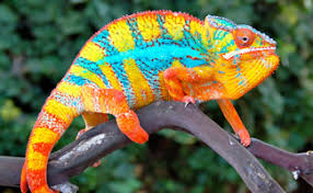 Image result for chameleons