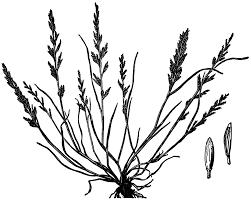 Catapodium rigidum – Wikipédia, a enciclopédia livre