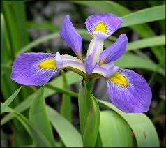 Image result for blue flag iris