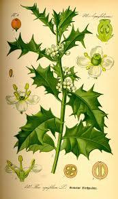 Aquifoliaceae - Wikipedia, la enciclopedia libre