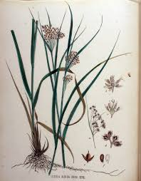 File:Luzula albida — Flora Batava — Volume v16.jpg - Wikimedia ...