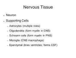 essay on the important components of nervous tissue essay