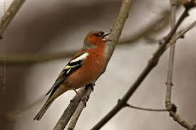 Znalezione obrazy dla zapytania śpiewające ptaki