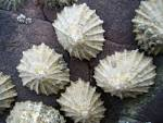 Images & Illustrations of common limpet