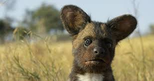 the secret life of animals an interview a producer of spy a wild dog pup was one of 34 spy creatures built to capture the intimate behavior of animals courtesy of richard jones copy john downer productions