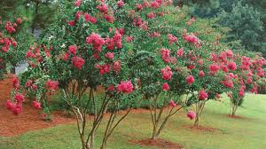 Image result for crepe myrtle