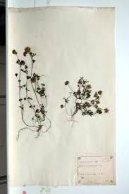 Erbario Ariosto - Trifolium nigrescens Viv.