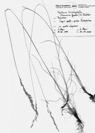 Festuca trichophylla (Ducros ex Gaudin) K. Richter (Poaceae) in the ...