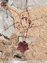 Limonium echioides   Flora-On