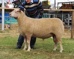 Charollais ram takes <b>supreme sheep</b> title at Royal Highland - News ...