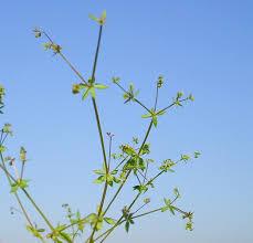 Galium divaricatum Pourr. | Flora of Israel Online