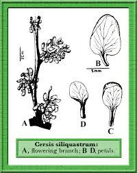 Cercis siliquastrum in Flora of Pakistan @ efloras.org