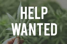 are you looking for a job in cannabis industry top jobs in cannabis jobs