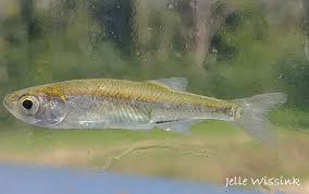 Leucaspius delineatus