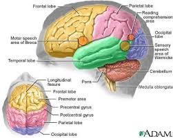 Hasil gambar untuk otak manusia