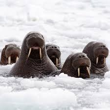 newsday tuesday amazing photo essay on the cusp of climate change walrus