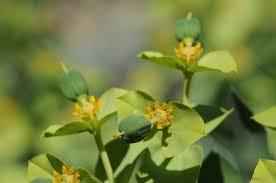 Euphorbia rigida - Wikipedia