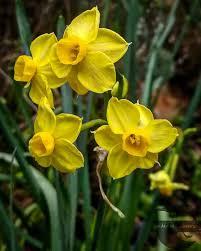 Narcissus tazetta subsp. bertolonii... - Sardegna Biodiversity - Fauna ...