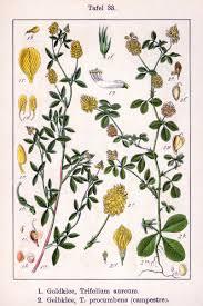 Trifolium campestre - Wikipedia, la enciclopedia libre