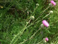 Carduus vivariensis