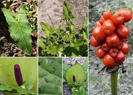Arum maculatum L. - Sistema informativo sulla flora vascolare dei ...