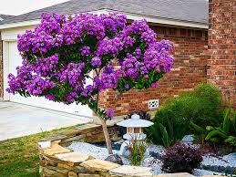 Image result for purple crepe myrtle
