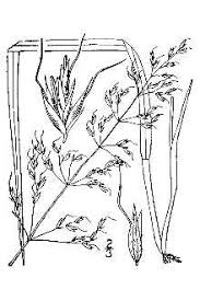 Plants Profile for Trisetum flavescens (yellow oatgrass)