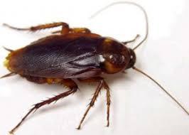 Cockroach image description