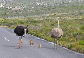 Image result for ostrich struthio camelus