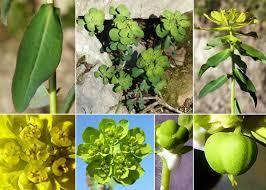 Euphorbia helioscopia L. subsp. helioscopia - Esploriamo la flora ...