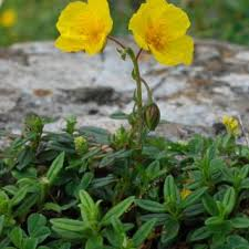 Helianthemum nummularium | Online Atlas of the British and Irish ...