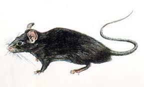 Resultado de imagem para foto de ratos