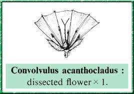 Convolvulaceae in Flora of Pakistan @ efloras.org