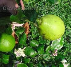 lemon tree x: nearly ripe fruit bad nearly ripe fruit