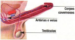Resultado de imagem para imagem de um desenho de penis