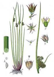 Juncus conglomeratus Common rush PFAF Plant Database