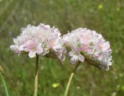 Armeria pungens, Sea Rose: identification, distribution, habitat