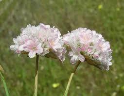 Armeria pungens, Sea Rose: identification, distribution, habitat