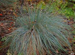 Festuca californica 'Phil's Silver' | California Flora Nursery