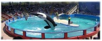 Image result for captive orcas