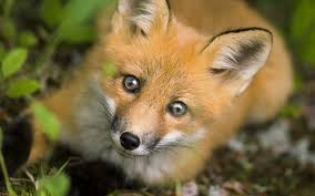 Image result for fox animal