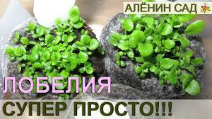 ПОСЕВ <b>ЛОБЕЛИИ</b> СУПЕР ПРОСТОЙ СПОСОБ!!! / Как очень ...